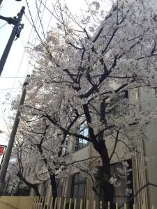 南小学校桜
