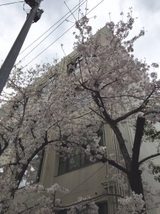 南小学校の桜②