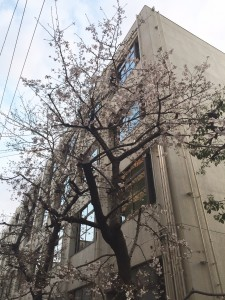 南小学校の桜①