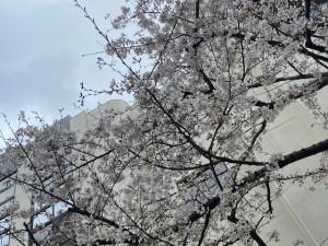 南小学校の桜② 2020